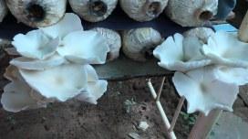 Mushroom House TCC